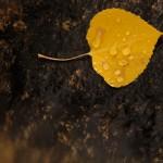 Aspen_leaf_snall