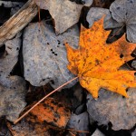 leaf_Indian_summer_small