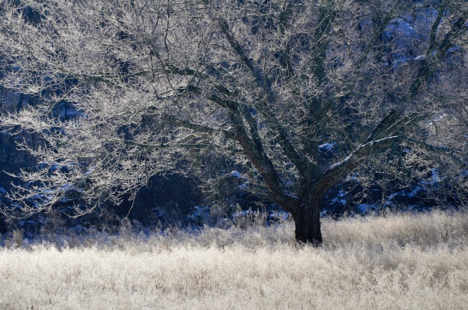 frosted-tree-2