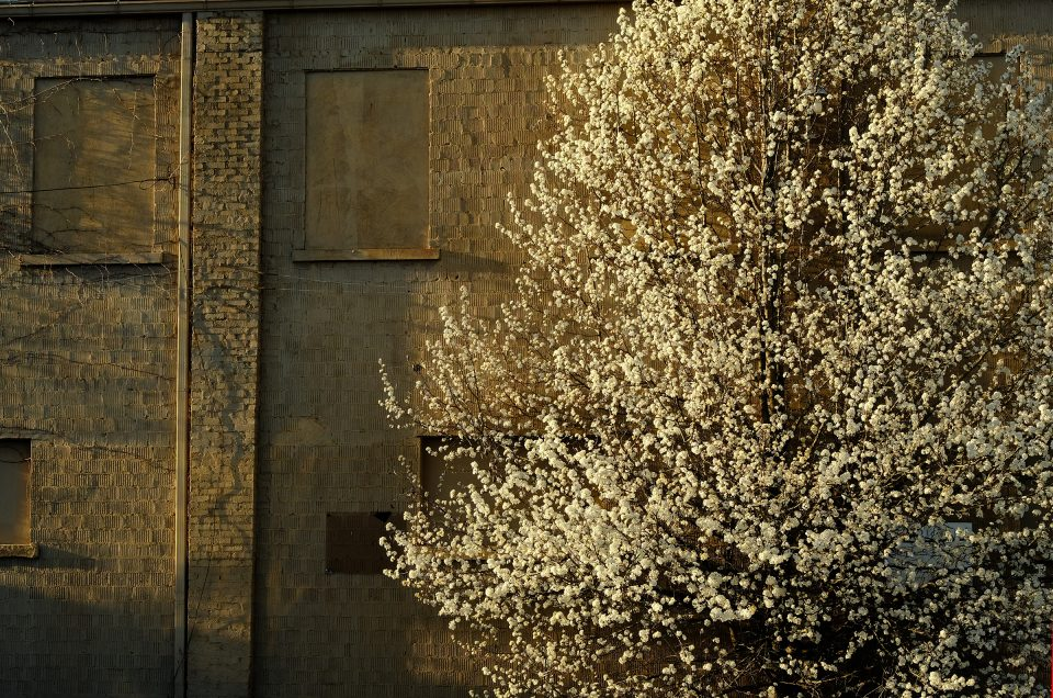 Dogwood and wall