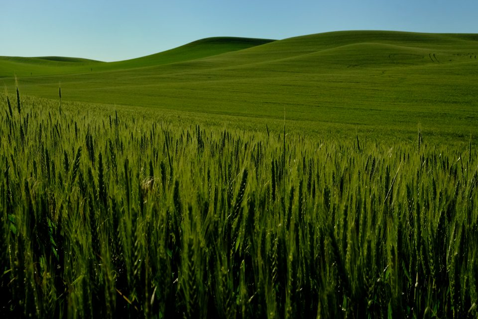 Wheat field 1